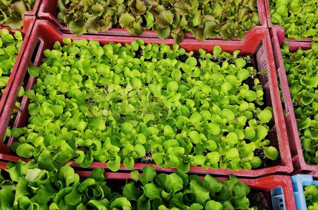 Des salades… culture en extérieur pour des plants costauds…