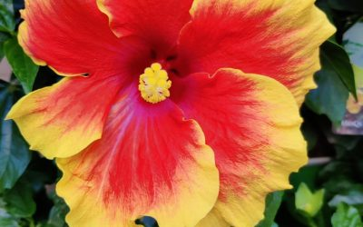 Des hibiscus …