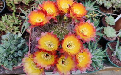 Des cactus en folie